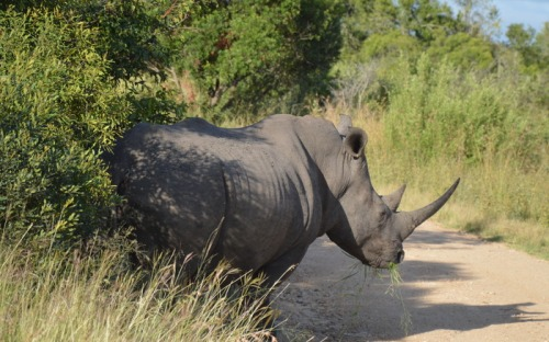 fuld stop for næsehorn