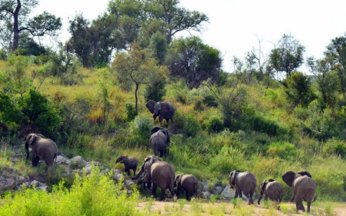 kæmpeflok elefanter