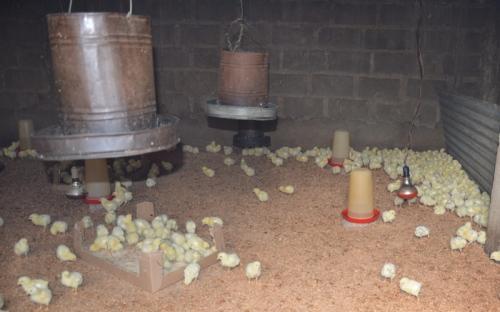 Mimis kyllinger